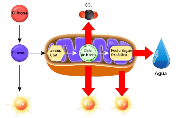 Etapas da respiração celular e o local onde elas ocorrem.