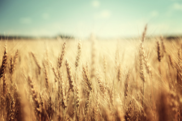 As pesquisas com o trigo foram pioneiras na Revolução Verde, surtindo resultados promissores no México.