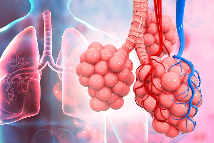 Os alvéolos pulmonares fazem parte da porção respiratória do pulmão.