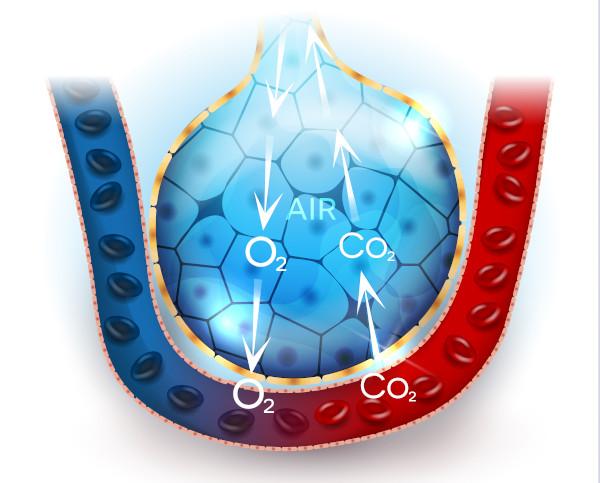 Nos alvéolos ocorrem trocas gasosas, fazendo com que o sangue que chega aos pulmões seja oxigenado.
