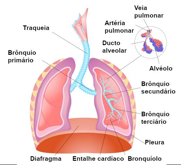 Os brônquios primários originam-se da traqueia e se ramificam em secundários, os quais se ramificam em brônquios terciários.