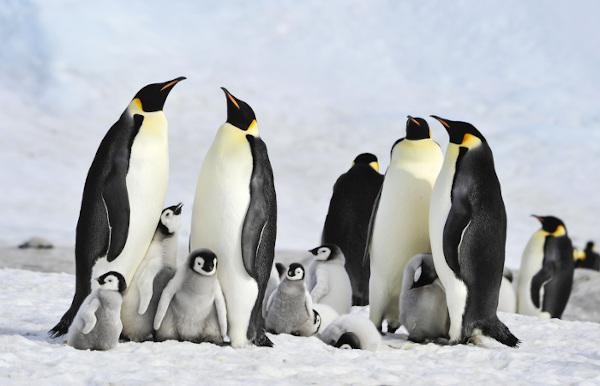 Os pinguins imperadores nidificam em colônias.