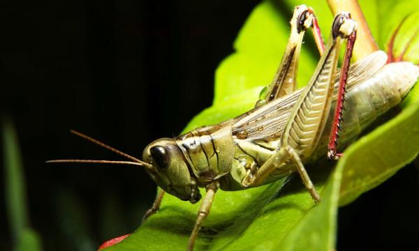 Os gafanhotos são exemplos de artrópodes, animais invertebrados que possuem exoesqueleto.