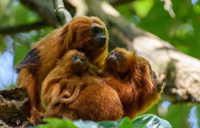 O mico-leão-dourado apresenta pelagem com coloração vibrante.