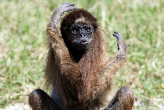 O muriqui-do-sul é o maior primata não humano das Américas.