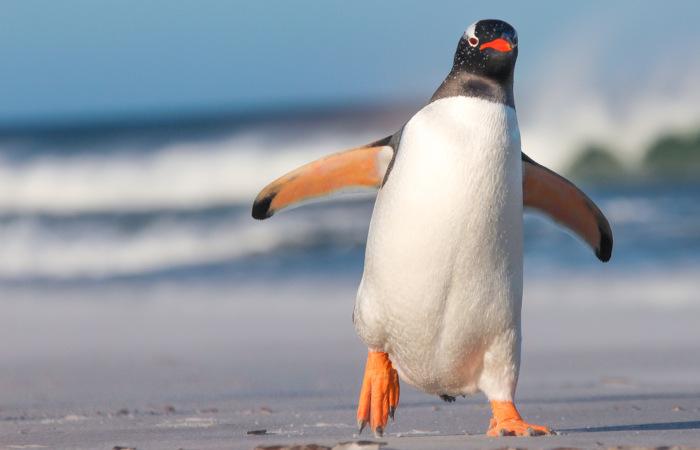 Os pinguins não se locomovem com agilidade em terra firme.