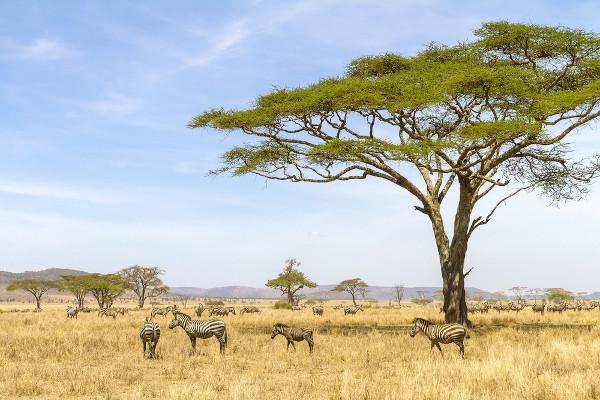As savanas são predominantes na África, sobretudo na região central.