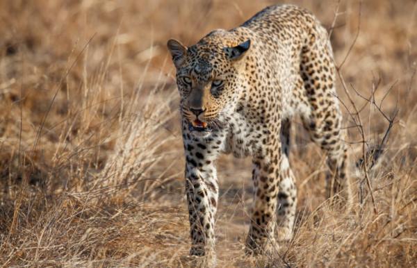 Panthera pardus é o nome científico do leopardo, um felino encontrado na Ásia e África.