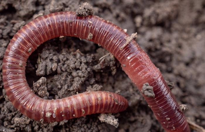 Anelídeos apresentam corpo repleto de anéis.
