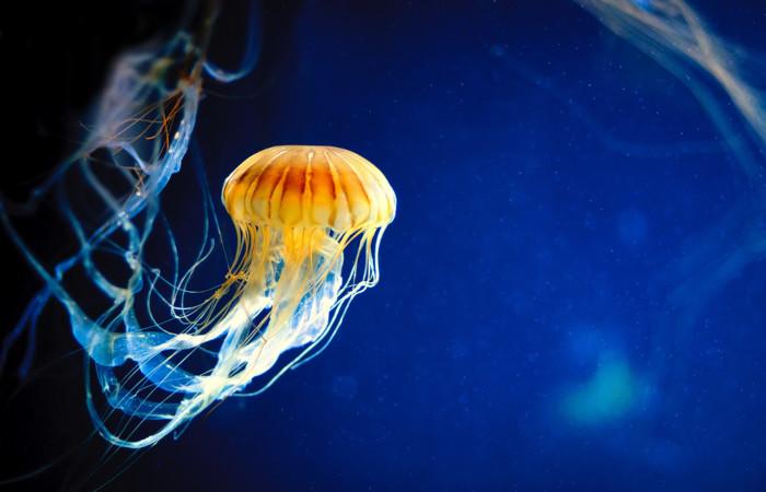 Águas-vivas são exemplos de cnidários.