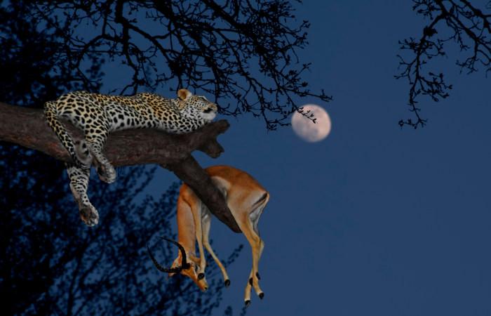 Leopardos são animais que apresentam grande capacidade de subir em árvores. São avistados frequentemente com seu alimento nesses locais.