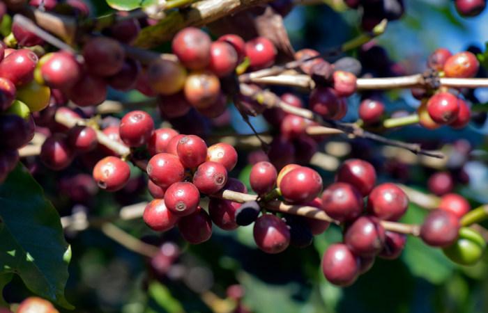 O cafeeiro é uma planta pertencente ao gênero Coffea e apresenta um grande valor econômico.