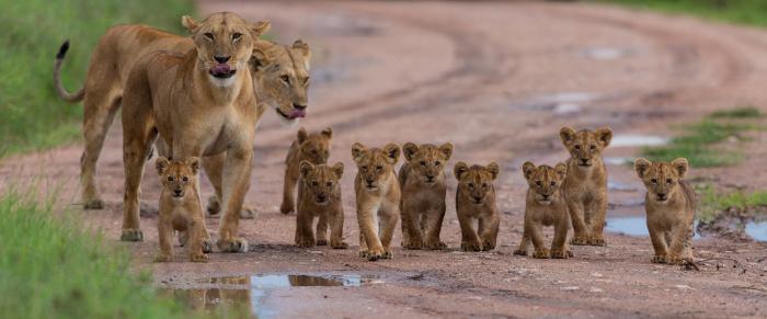 Os grupos de leões são formados por alguns machos, fêmeas e seus filhotes.
