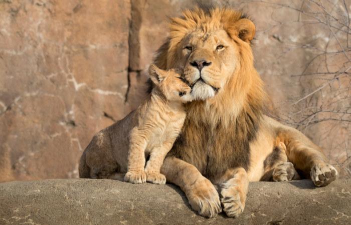Os leões machos apresentam jubas, uma característica que ajuda a diferenciá-los das fêmeas.