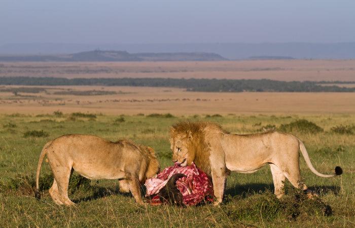 Os leões são animais carnívoros.