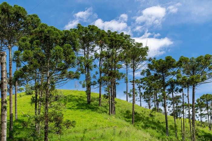 O pinheiro-do-paraná, também conhecido como araucária, é a árvore símbolo do estado.