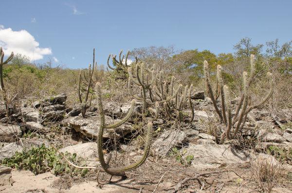 As características da vegetação da Caatinga são explicadas pela alta adaptação das espécies locais ao clima Semiárido.