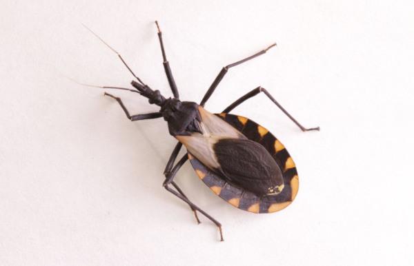 O barbeiro é responsável pela transmissão vetorial da doença de Chagas.
