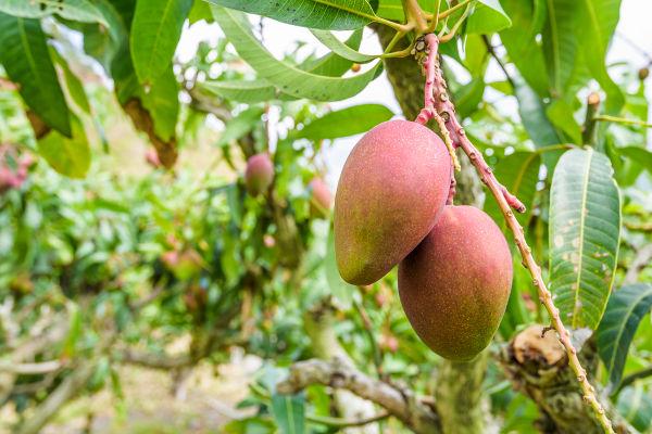 A mangueira é uma árvore de grande porte que pode chegar a 30 metros.