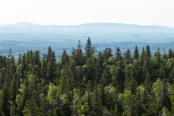 Ao contrário da tundra, a taiga possui árvores de grande porte na sua vegetação.