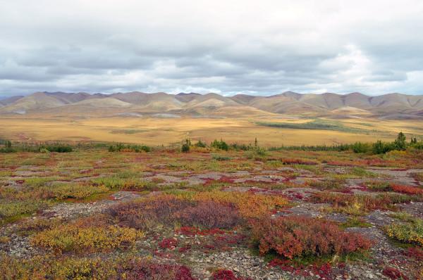 No verão, em razão do descongelamento do solo, crescem sobre a tundra diversas espécies de gramíneas. [1]
