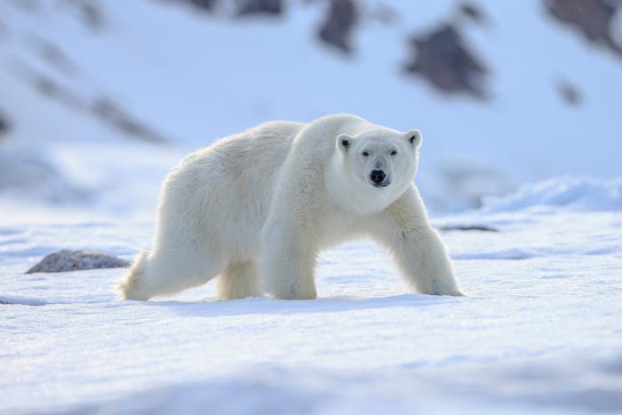 O urso-polar é o animal símbolo do oceano Glacial Ártico.