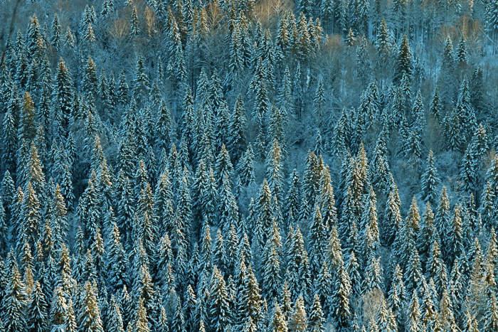 A vegetação da taiga é extremamente uniforme, formada por árvores altas e que apresentam formato de cone.