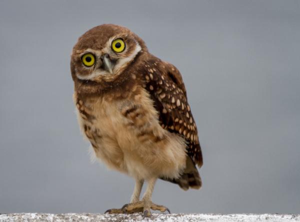 As corujas apresentam olhos grandes e bico curvo.