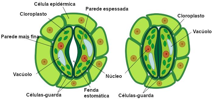 Desenho de estômatos com as partes da sua estrutura nomeadas