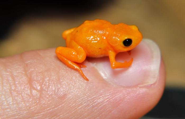 Pequeno anuro laranja em cima de dedo humano