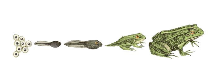 Ilustração das fases de vida de um anfíbio