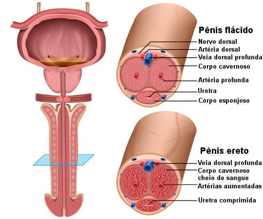 Observe as principais regiões do pênis nos momentos de flacidez e de ereção.