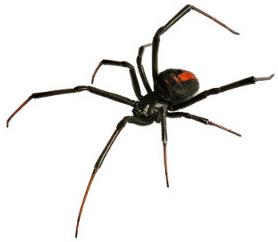 A aranha é um quelicerado do grupo dos aracnídeos