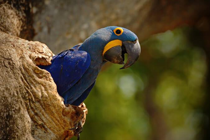 As araras-azuis fazem ninhos em árvores e paredões.