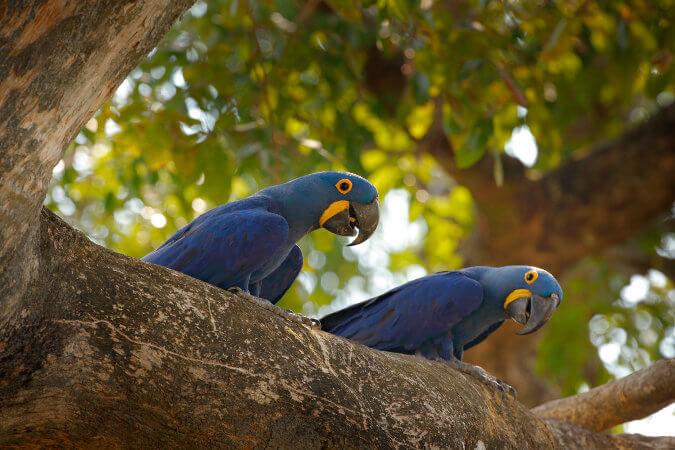 As araras-azuis raramente vivem de maneira solitária.