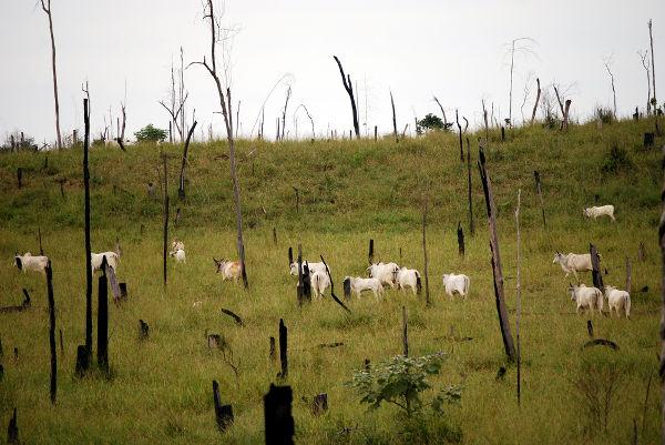 Área do bioma amazônico desmatada para servir de pastagem para o gado