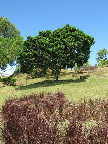 Até hoje, o pau-brasil é uma árvore ameaçada de extinção.