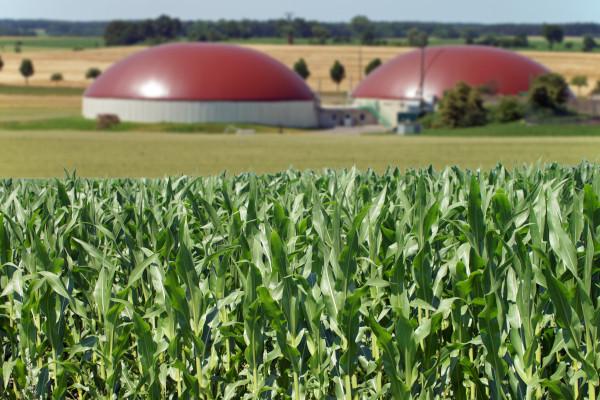 A bioenergia é produzida por meio da biomassa, podendo ser de origem vegetal como a produção de milho.