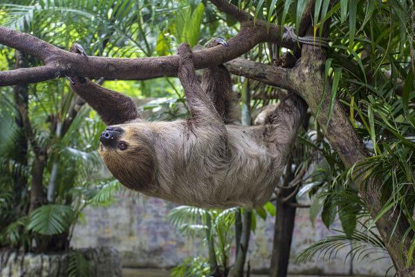 Bradypus torquatus é também conhecida como preguiça-de-coleira.