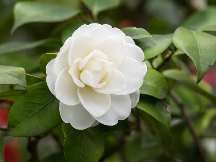 Na década de 1880, a camélia branca tornou-se um grande símbolo da causa abolicionista.