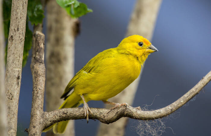 Um das características presentes em pássaros é sua capacidade de canto.