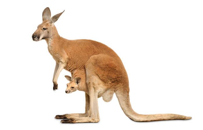 O canguru permanece no marsúpio logo após seu nascimento.