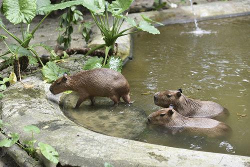 As capivaras vivem bem em cativeiro, onde podem atingir grandes pesos