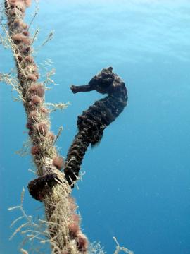 O cavalo-marinho possui uma cauda que permite que ele se agarre ao substrato