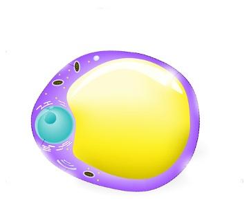 Observe o esquema da célula que compõe o tecido adiposo