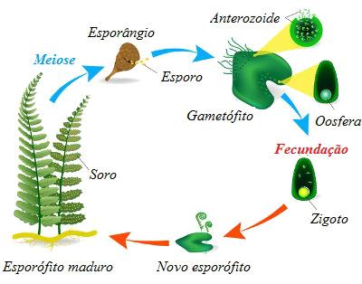 Observe o ciclo de vida de uma samambaia