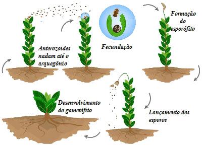 Observe o esquema do ciclo de vida das briófitas
