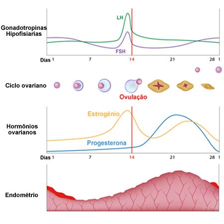 Ciclo reprodutivo feminino e as diferentes taxas hormonais
