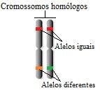 Nos cromossomos homólogos, é possível observar genes ocupando o mesmo lócus