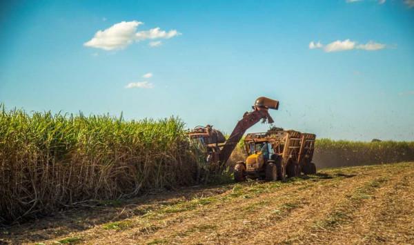 A cana-de-açúcar, um dos principais monocultivos do Brasil, é utilizada para produção de etanol.